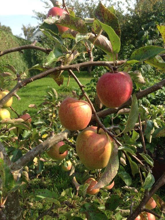 Æbler lyser rødt på træernes grene